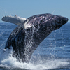 whale jumping for joy - Experiencing Love - The Love Foundation